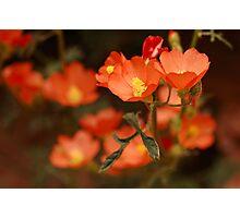 Orange Globe Mallow Photographic Print