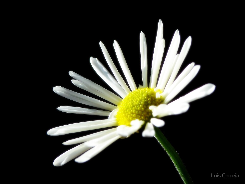 Simple Daisy by Luis Correia