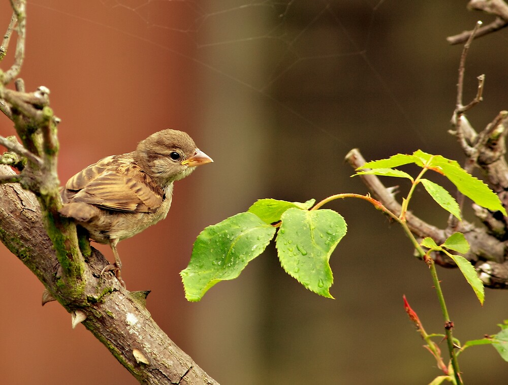 Fledgling Sparrow by kitlew