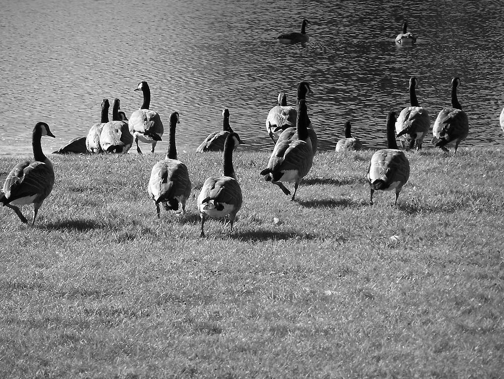 Canada Geese by Gene Cyr