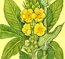 Orange Mullein - Verbascum phlomoides by Sue Abonyi
