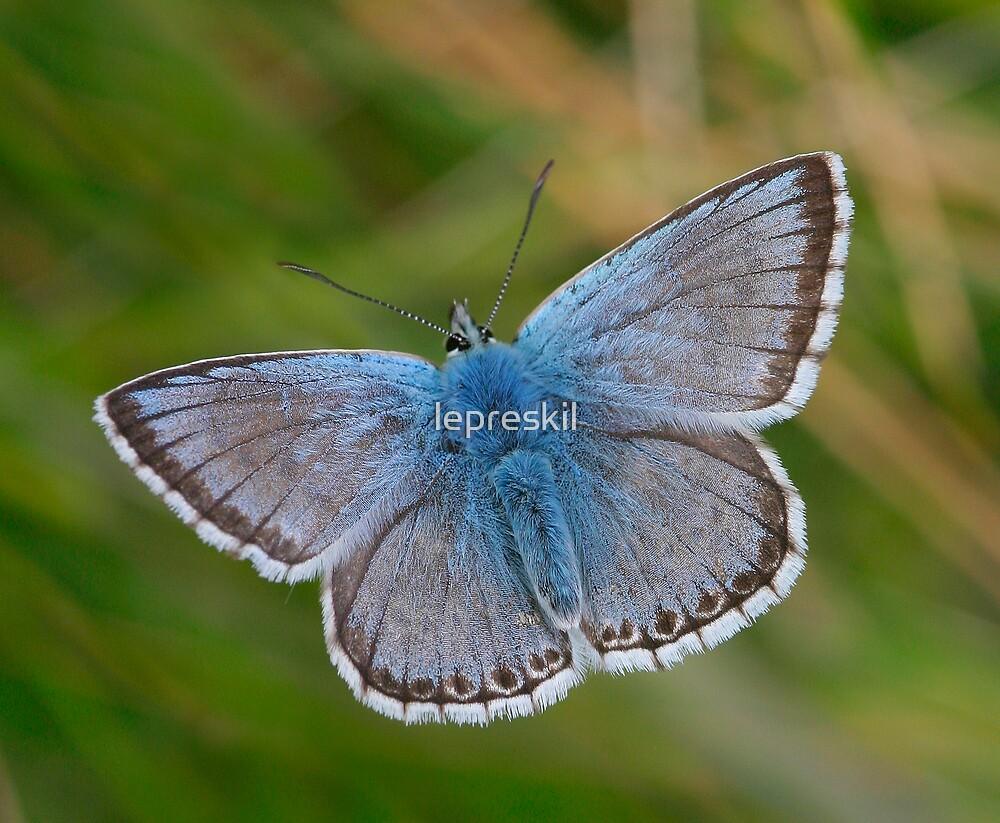Chalkhill Blue Butterfly by lepreskil