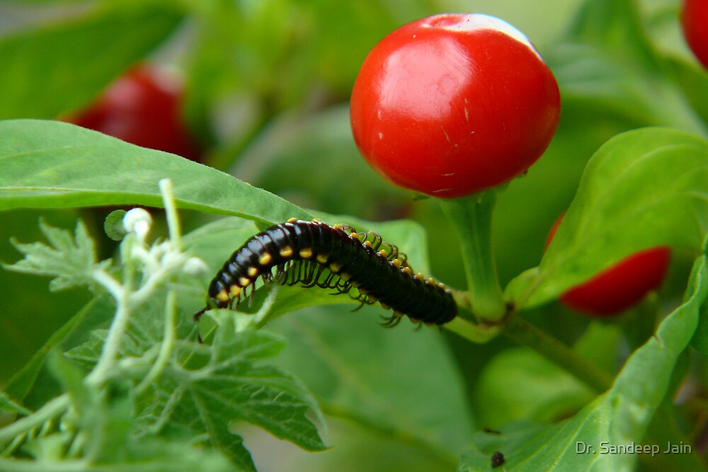 Chili and the caterpillar by Dr. Sandeep Jain