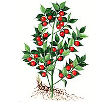 Butcher's Broom - Ruscus aculeatus Photographic Print