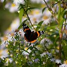 red admiral by becky covey