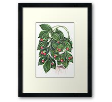 Miraculous Berry - Ruscus hypoglossum Framed Print