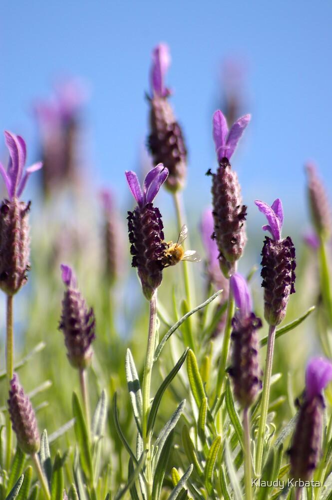 lavender by Klaudy Krbata