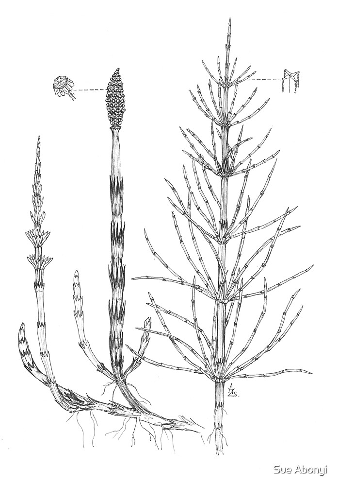 Pewterwort  - Equisetum arvense by Sue Abonyi