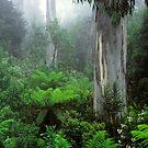 Errinundra 'Shining Gum' Forest by Ern Mainka