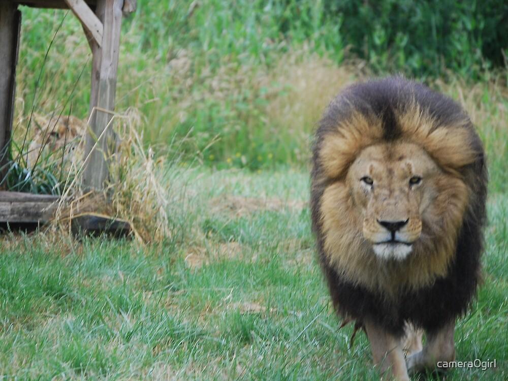 roar by camera0girl