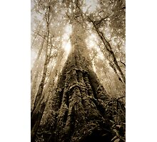 Old Growth Mountain Ash Photographic Print