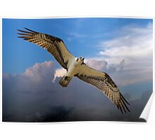 Osprey Flying High in the Sky Poster