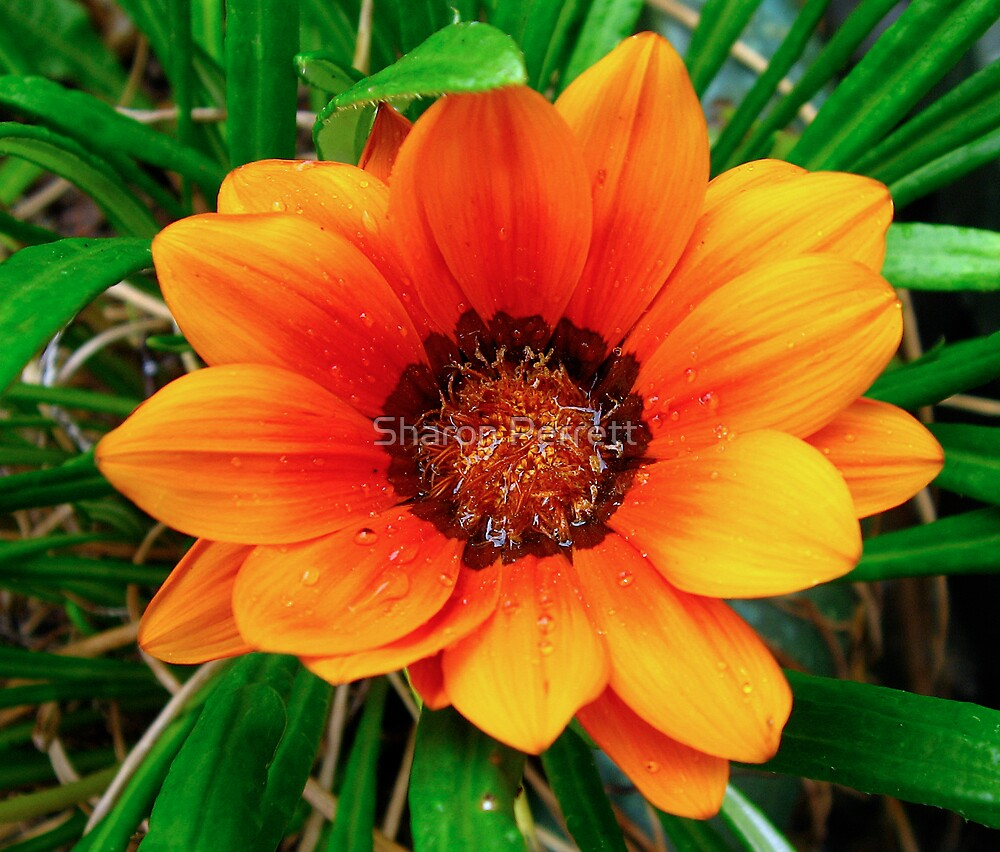 Gazania Beauty by Sharon Perrett