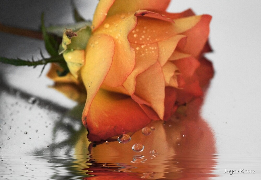 Rose reflections by Joyce Knorz