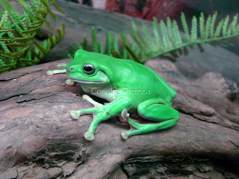 Northern Green Tree Frog by Coralie Plozza