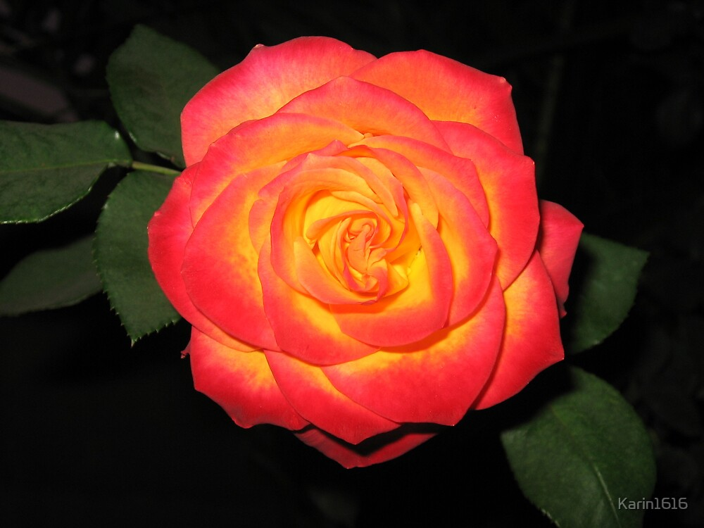 Precious rose by Karin1616