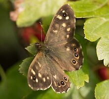 Speckled Wood Butterfly by Robert Carr
