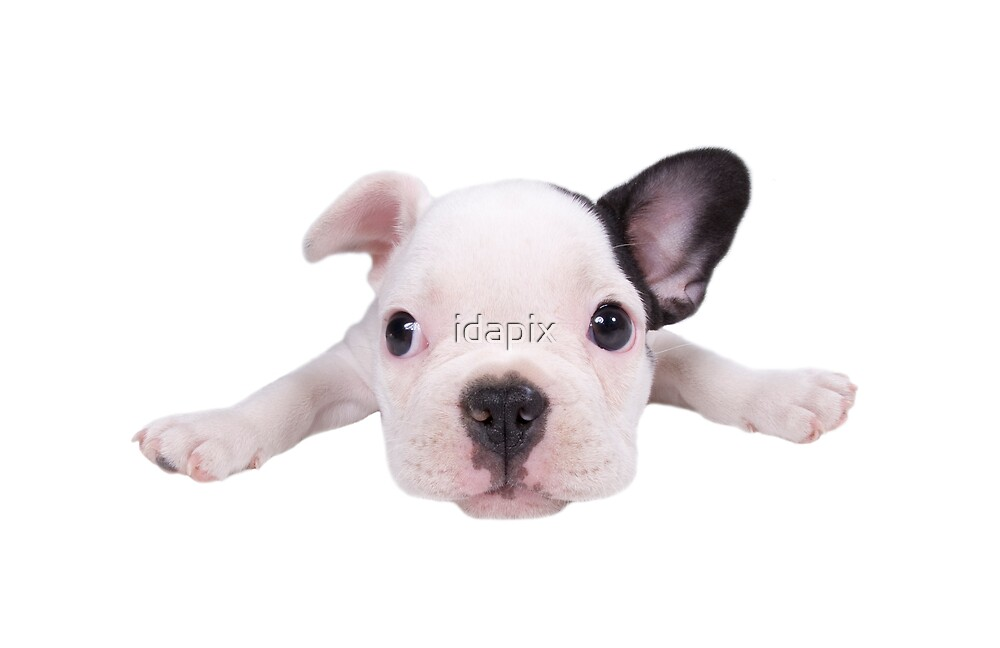 Adorable French Bulldog Puppy by idapix