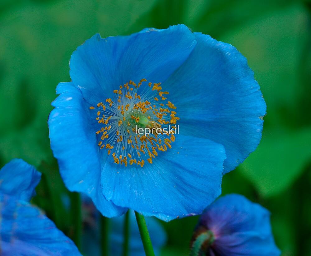 Himalayan Blue Poppy ( Meconopsis betonicifolia) by lepreskil
