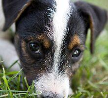 Jack Russel Terrier Puppy by idapix