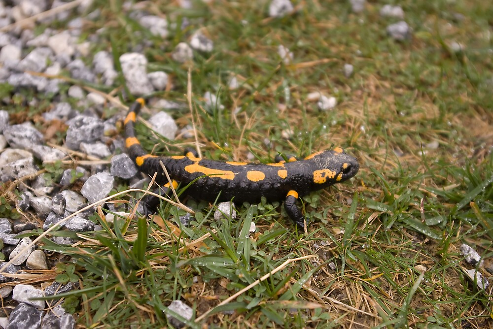 Salamander by ictin