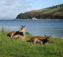 Arran deer - having a snooze by fifi