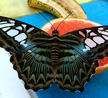 Blue Clipper - Open wings by Sharon Perrett