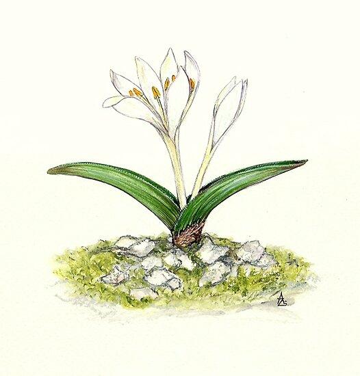 Hungarian Naked Lady - Colchicum hungaricum by Sue Abonyi