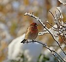 House Finch in Snow by Sandy Keeton