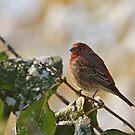 Finch Perching by Sandy Keeton
