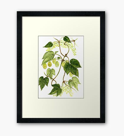Common Hop - Humulus lupulus Framed Print