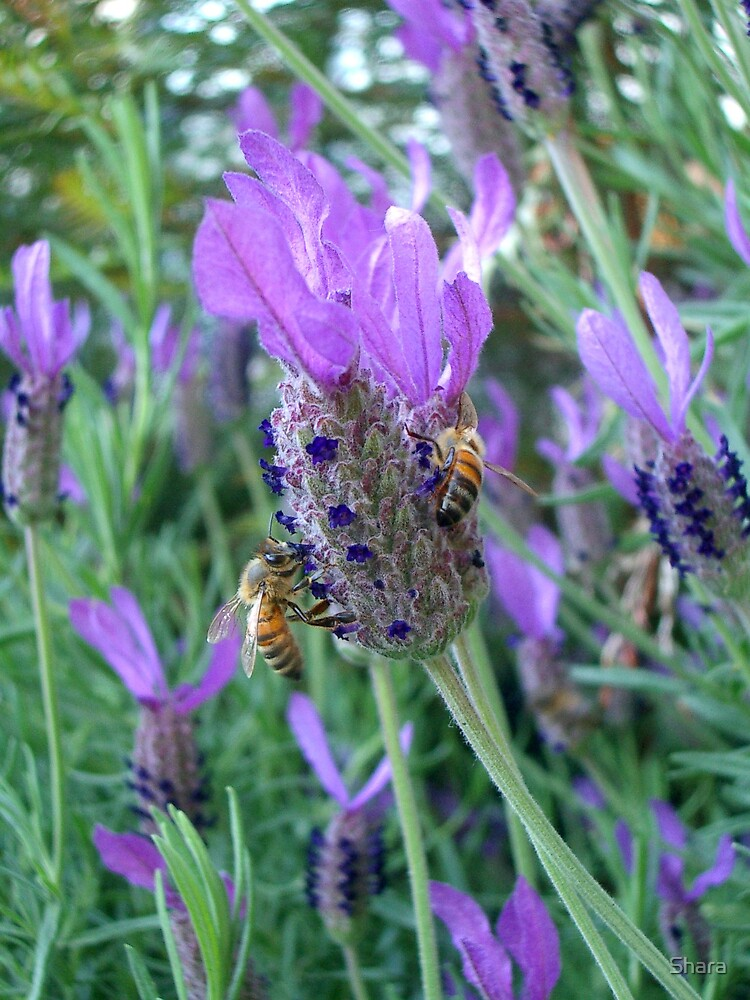 Lavender with Bees by Shara