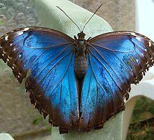 Owl Butterfly - Open Wings by Sharon Perrett