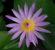 Pink Water Lily Sq by BengLim