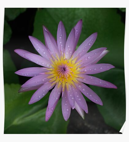 Pink Water Lily Sq Poster