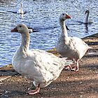 Embden Geese by Tom Gomez