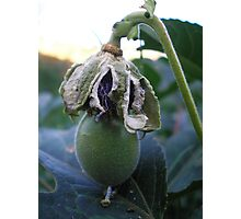 maypop out Photographic Print