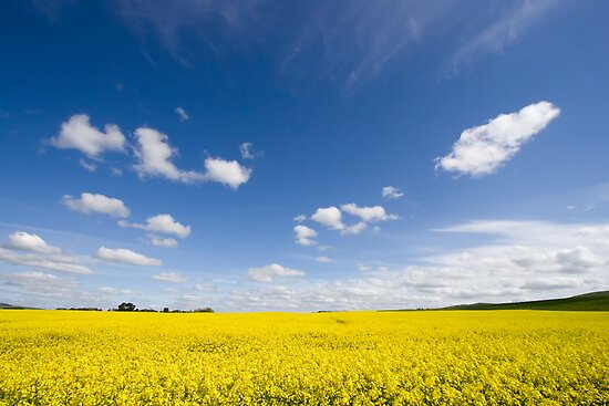Canola / Rape Seed Field by AustralianImagery