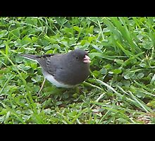 Dark Eyed Junco by Starr1949