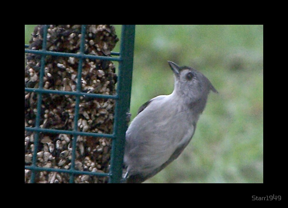 Tufted Titmouse by Starr1949