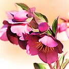 Romance of the Hellebores by Eileen McVey