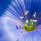 blues, flowers,  by panthrcat