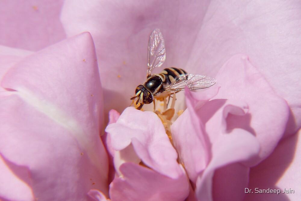 The bee on a rose by Dr. Sandeep Jain