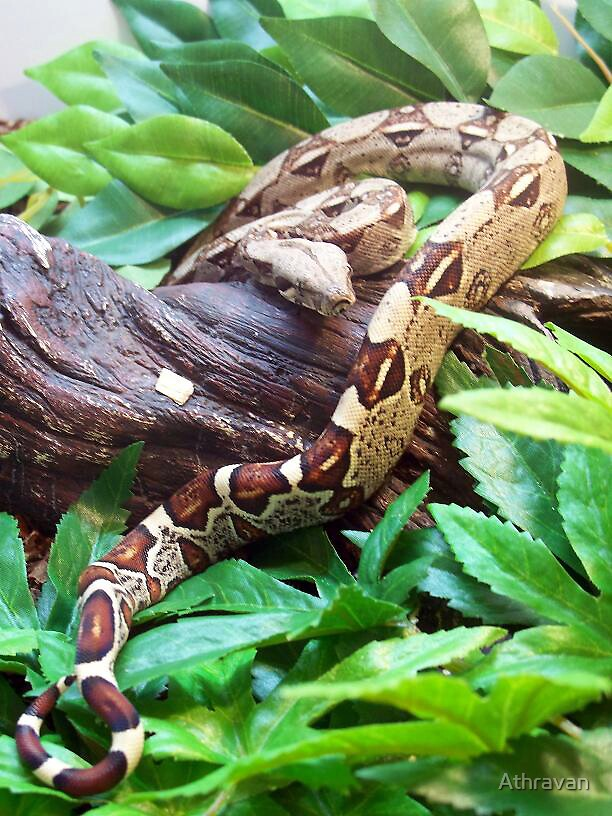 Red Tailed Boa Constrictor by Athravan