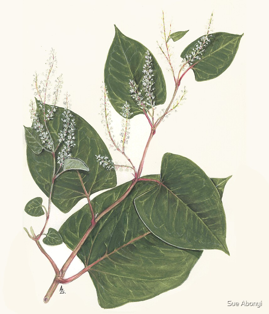 Reynoutria japonica by Sue Abonyi