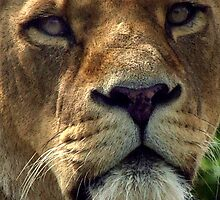 lioness by JohnHDodds
