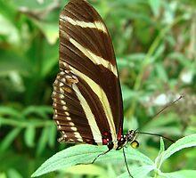Zebra Longwing Butterfly - Closed Wings by Sharon Perrett