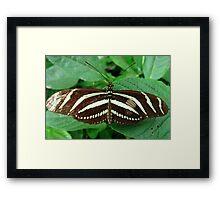 Zebra Longwing Butterfly - Open Wings Framed Print