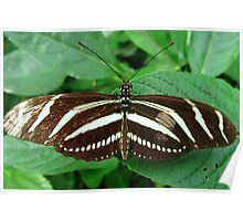 Zebra Longwing Butterfly - Open Wings Poster