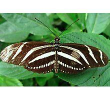 Zebra Longwing Butterfly - Open Wings Photographic Print